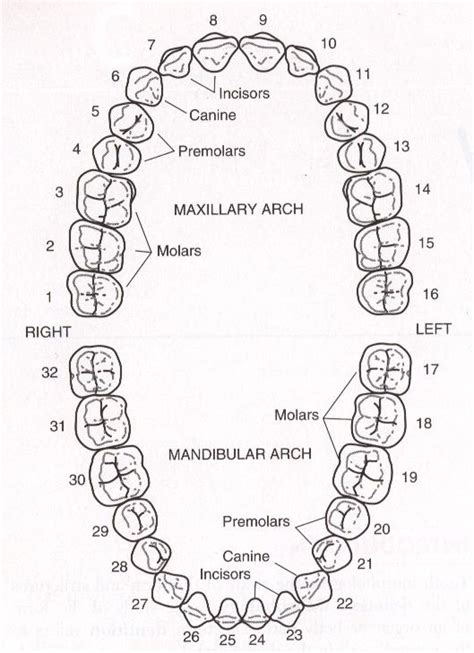 teeth diagram with numbers where is your tooth 8 ask dr sun
