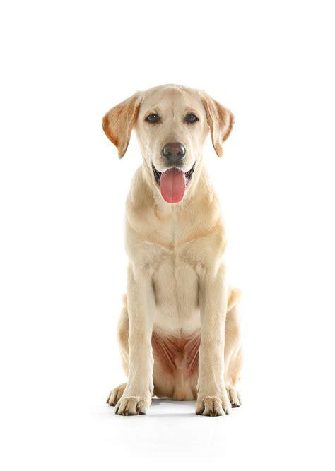 breed similar to golden retriever labrador retriever