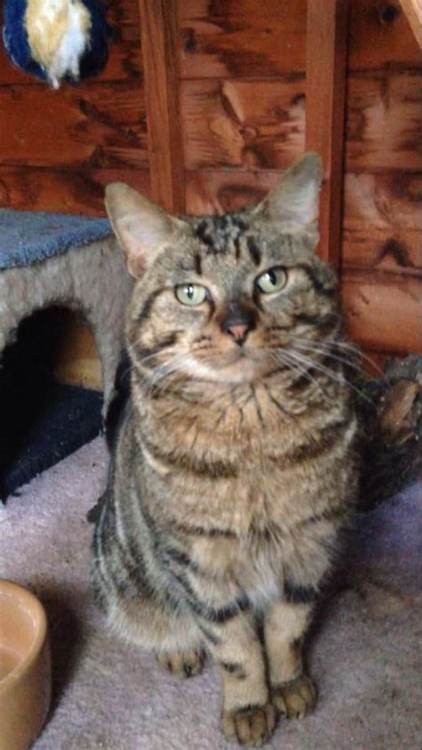 laid back breeds handsome mikey most laid back affectionate cat upminster essex pets4homes
