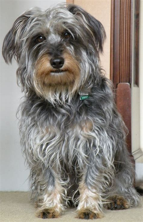 scruffy puppy breeds of scruffy dogs breeds picture