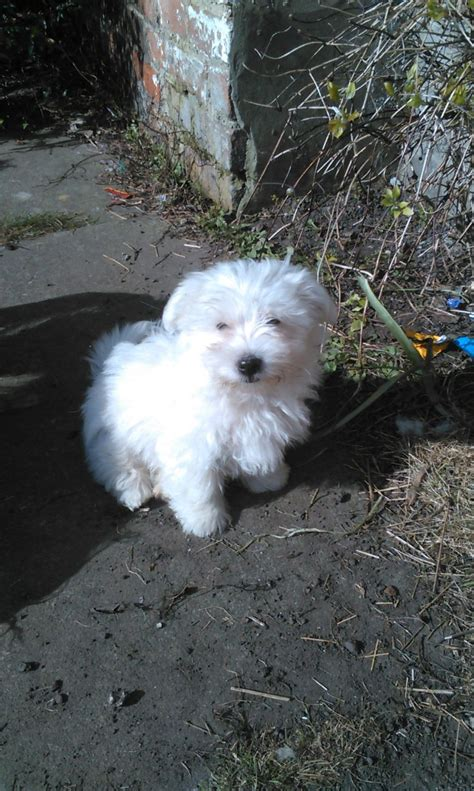 coton puppies for sale maltese coton de tulear cross puppies for sale liverpool merseyside pets4homes