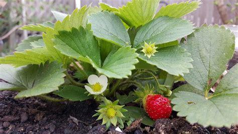 pianta di fragola in vaso coltivare le fragole in vaso consigli pratici per