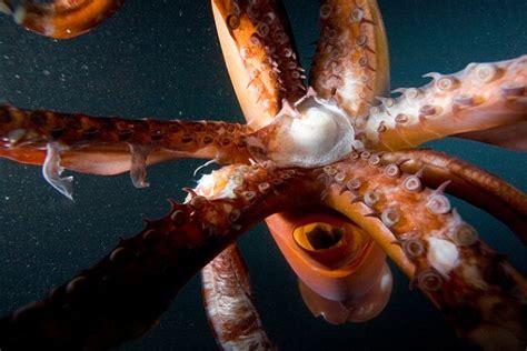 Gpt Cella Jumbo By Vamosh une femme de 63 ans f 233 cond 233 e par un calamar etrange et