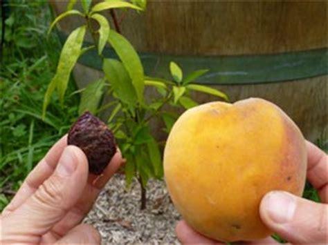 Planter Un Noyau De Peche Plate by Comment Planter Pecher De Vigne