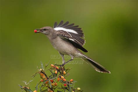 northern mockingbird mimus polyglottos rolf nussbaumer