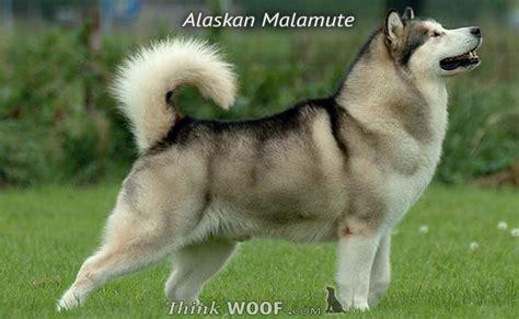 belgium malamute puppy white siberian husky wolf mix