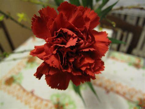 garofano fiore garofano