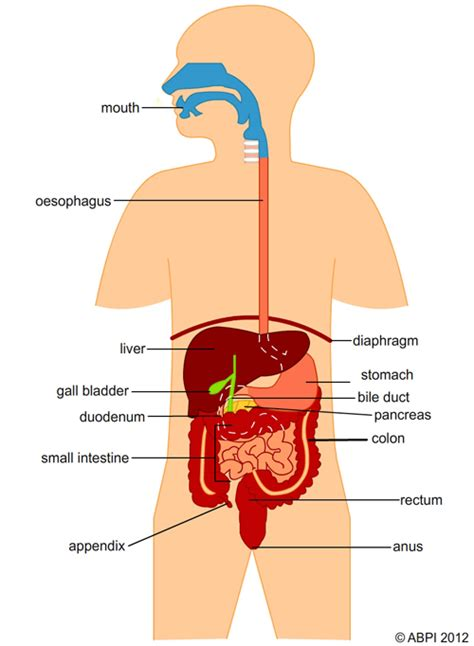 How It Works Sejarah Manusia Story Of Human 81 Ebook 2 digestive system reese baron thinglink