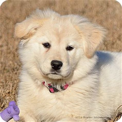 maremma golden retriever mix princess adopted puppy dacula ga great pyrenees golden retriever mix