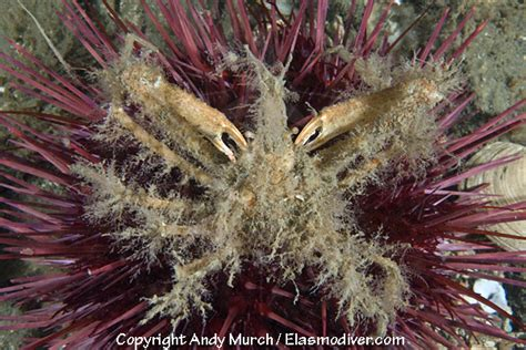 Graceful Decorator Crab by Graceful Decorator Crab Pictures Images Of Oregonia