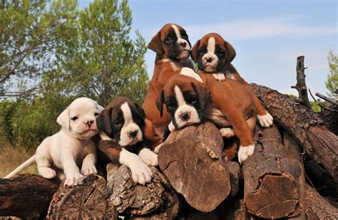 best way to housebreak a puppy the best way to a boxer puppy ultimate guide