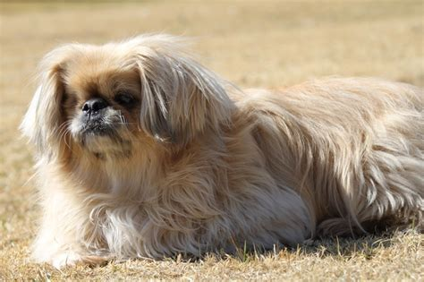 pekingese poodle lifespan i pekingese a collection of ideas to try about