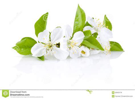 fiori alberi da frutto fiori della sorgente degli alberi da frutto isolati