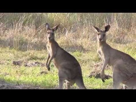 kangeroo sounds  pictures youtube
