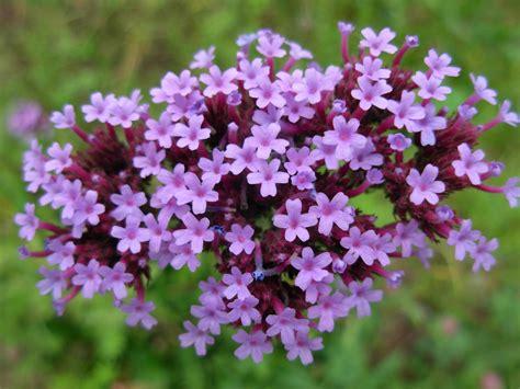 verbena fiore verbena purpletop vervain verbena bonariensis zoom s