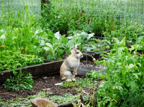 rabbit repellent for vegetable gardens best rabbit repellent for garden