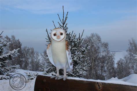 How Big Are Barn Owls big barn owl by sillykoshka on deviantart