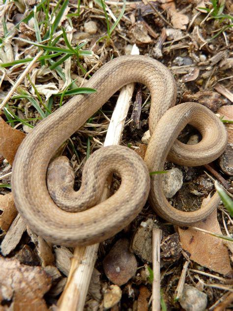Garden Snake Brown Baby Snake 171 Mod Remod