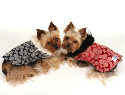 yorkies in the winter miniature terrier winter pet care
