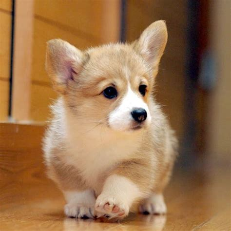 baby corgi puppies puppys and so on