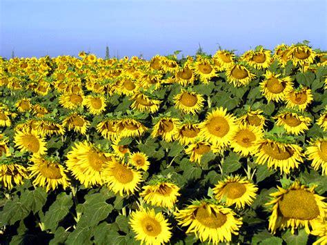 kansas sunflower fields www imgkid com the image kid kansas sunflower www imgkid com the image kid has it