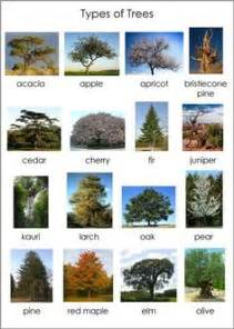 different types of trees pictures to pin on pinterest types of trees nomenclature cards for nino pinterest