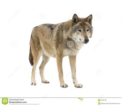 el lobo de los 1519600925 el lobo joven que mira fijamente su ruega aislado fotos