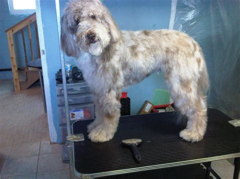 aussiedoodle puppies hair cuts aussiedoodle haircuts first haircut 17 best ideas about