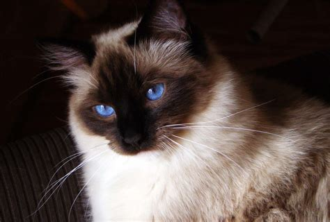ragdoll pose 18 loving and docile ragdoll cat images hd