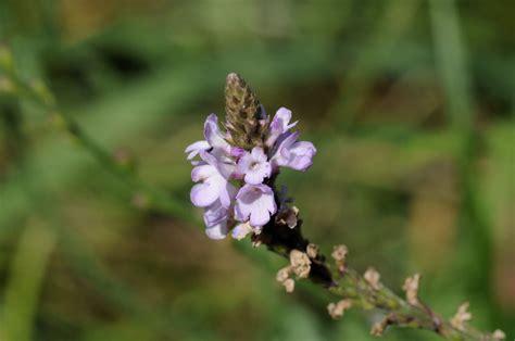 fiori di bach 51 vervain fiori di bach