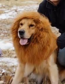 golden retriever wig large pet neckerchief collar wigs mane hair labrador golden retriever ebay