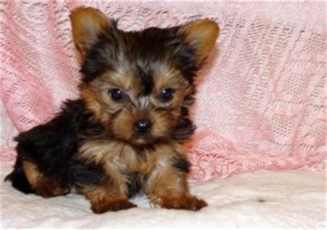 teacup yorkie rescue ct adorable and teacup maltese puppies ready for a new hom branford ct