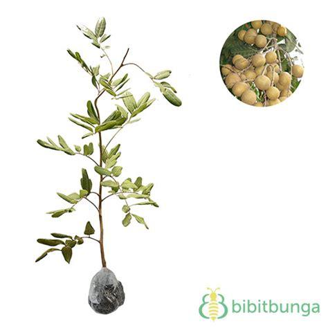 tanaman kelengkeng pingpong bibitbunga