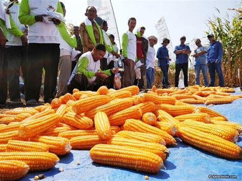 Benih Jagung Dk monsanto tunjukkan hasil panen benih jagung momen bisnis