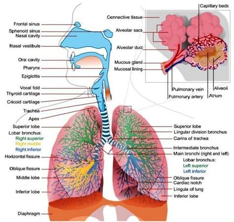 diagram of respiratory system lower respiratory system labeled lower respiratory tract