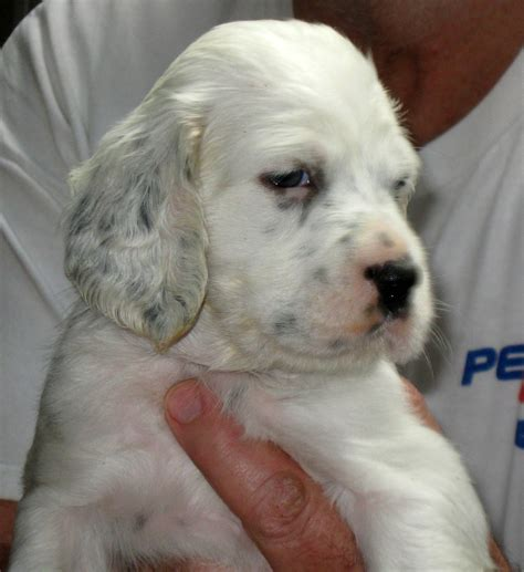 english setter dogs for sale in iowa aspen patch setters iowa english setter breeders