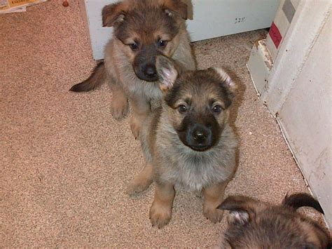 german shepherd puppies for sale in german shepherd puppies for sale manchester greater manchester pets4homes