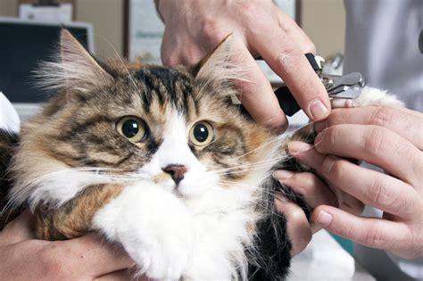 nail trimming should i cut my cat s nails pet samaritans