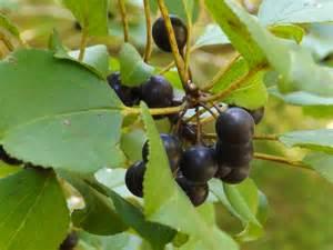 small black tree berries david whelan