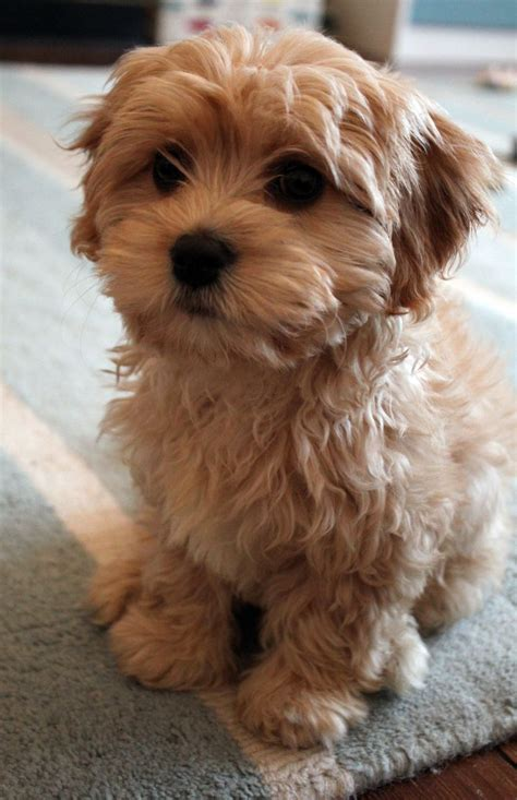 best small breed dogs small fluffy dogs best small breeds breeds picture
