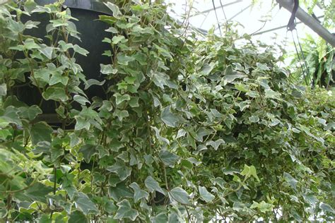 foliage plants for hanging baskets hanging baskets tropical foliage plants inc