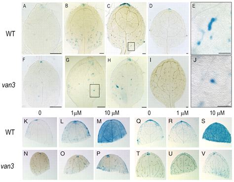 pattern formation leaf van3 arf gap mediated vesicle transport is involved in