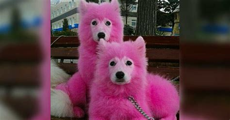pink dogs dogs dyed pink rescued from forest
