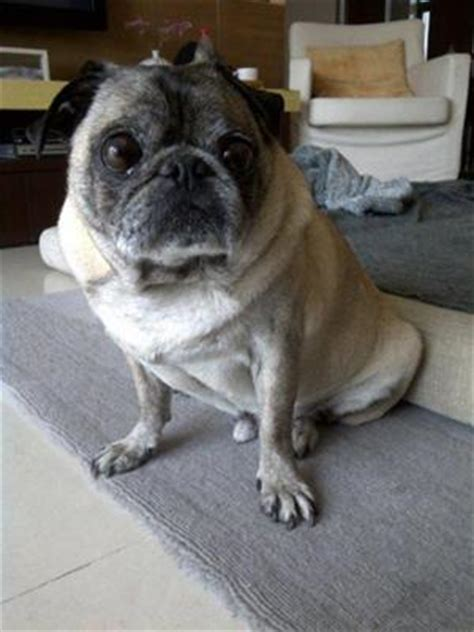 pug bladder infection treating pug with degenerative mitral valve disease dmvd