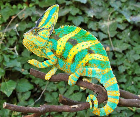 veiled chameleon colors premium high color baby veiled chameleons for sale