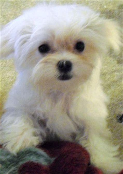 white havanese puppy white bichon frise havanese puppy png