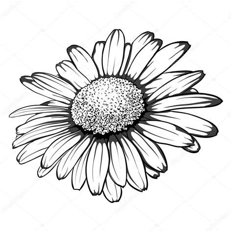margarita drawing margarita flower drawing margarita stock vectors royalty