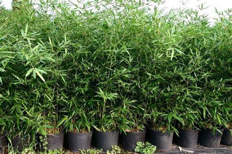coltivare outdoor in vaso pianta bamboo piante da giardino conoscere la
