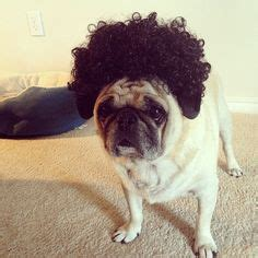 why does a pugs curl 1000 images about dogs pugs in wigs on pug and black curls