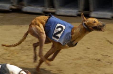 best running dogs top best running breeds